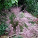 Ornamantal Pink Muhly Grass Muhlenbergia capillaris - 30 Seeds