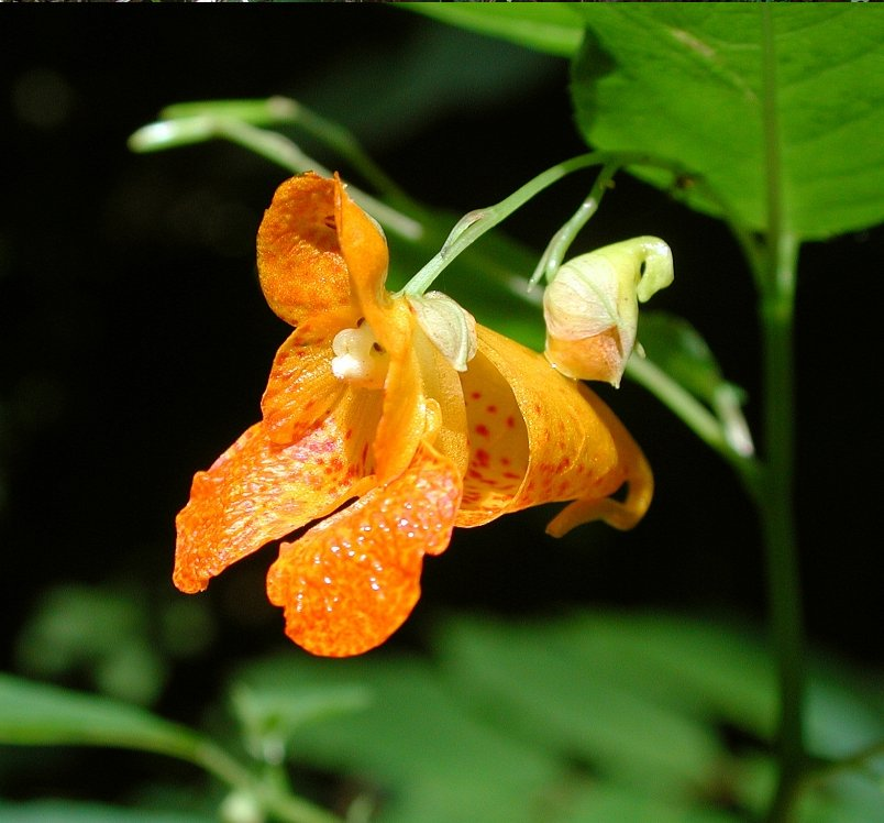 Orange Balsam Jewelweed Impatiens capensis - 20 Seeds