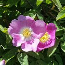 Wild Swamp Rose Pink Rosa palustris -  40 Seeds