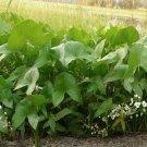 Wapato Duck or Swamp Potato Arrowhead Sagittaria latifolia - 250 Seeds