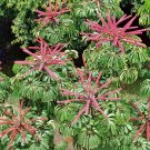 Giant Umbrella Tree Schefflera actinophylla - 30 Seeds