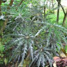 House Plant Rare Spider Aralia Schefflera elegantissima - 30 Seeds