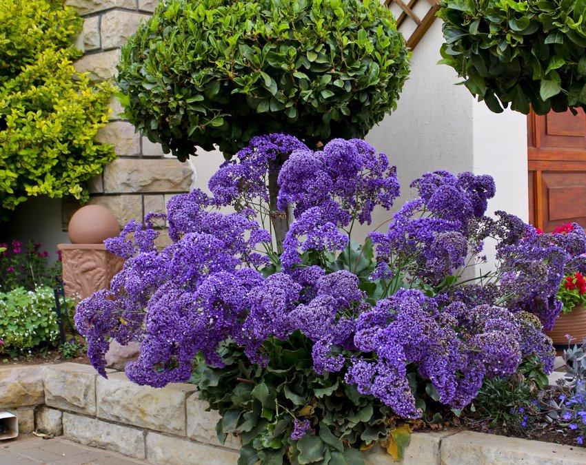 Purple Perez's Sea Lavender Limonium perezii - 20 Seeds