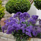 Purple Perez's Sea Lavender Limonium perezii - 30 Seeds