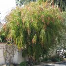Weeping Fragrant Peppermint Tree Agonis flexuosa - 40 Seeds