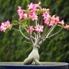 Mixed Desert Rose Adenium Natural Bonsai - 8 Seeds