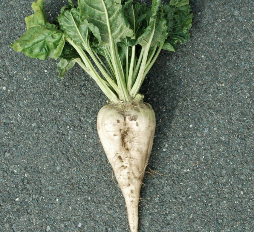 Sugar Beet Beta vulgaris altissima - 100 Seeds