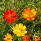 Orange Shades Cosmos Bright Light Cosmos sulphureus - 100 Seeds