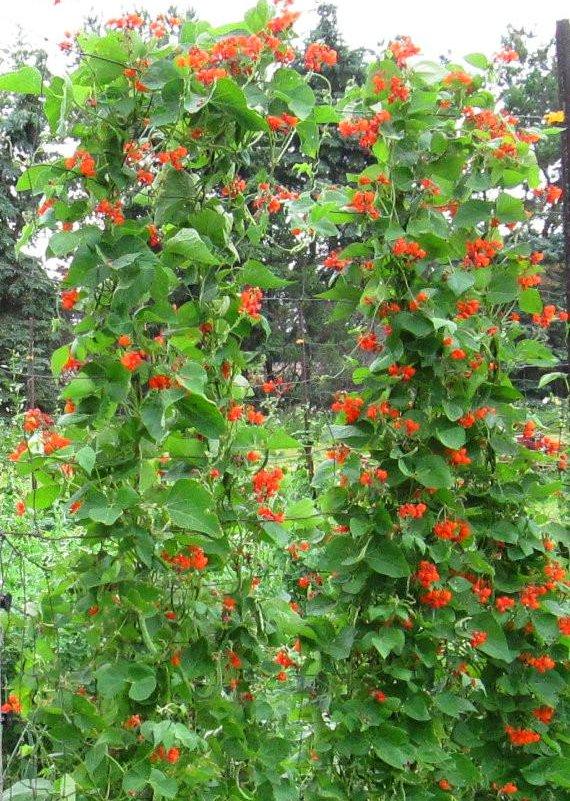 showy scarlet runner vine bean phaseolus coccineus  25 seeds