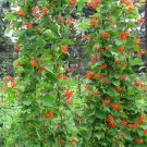 Showy Scarlet Runner Vine Bean Phaseolus Coccineus - 25 Seeds