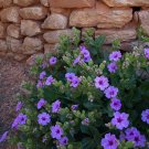 Wild Desert Four O'Clock Mirabilis Multiflora - 8 Seeds
