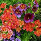 Stained Glass Flower Kalaidoscope Salpiglossis sinuata - 100 Seeds