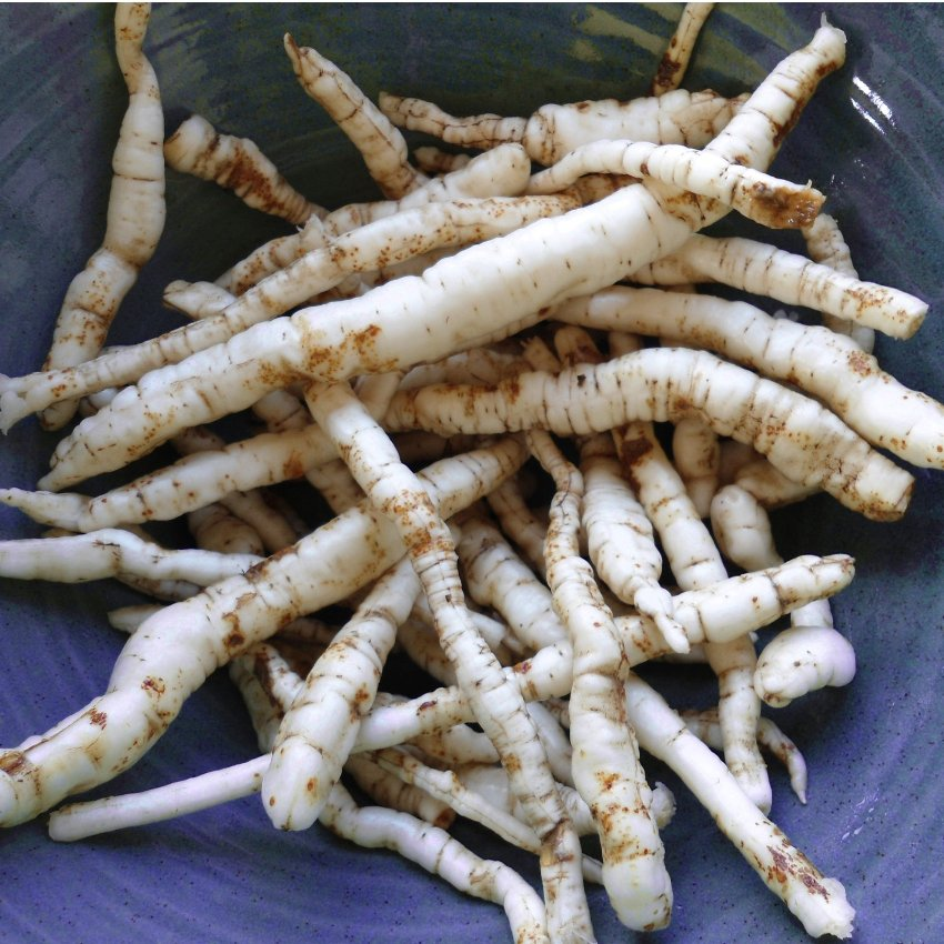 Skirret Crown Sium sisarum Root of rare perennial plant