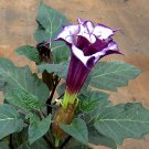 Goth Garden Double Triple Purple Datura Metel - 10 Seeds