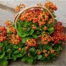 Pocketbook Flower Calceolaria herbeohybrida - 50 Seeds