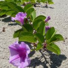 Railroad Vine Beach Morning Glory Ipomoea pes-caprae - 8 Seeds