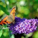 Purple Buddleia Butterfly Bush Buddleja davidii - 100 Seeds