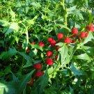 Unique Strawberry Goosefoot Chenopodium capitatum - 80 Seeds