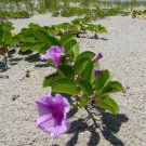 Railroad Vine Beach Morning Glory Ipomoea brasiliensis - 8 Seeds