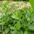 Organic Kentucky Burley Tobacco Nicotiana Tabacum 'KY14' - 200 Seeds