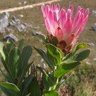 South African Bot River Protea Protea Compacta - 5 Seeds