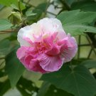 Hardy Dixie Rosemallow Pink Cotton Rose Hibiscus Abelmoschus mutabilis - 15 Seeds