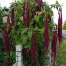 Goth Garden Weeping 'Love Lies Bleeding' Amaranthus caudatus - 300 Seeds