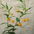Rare South African Golden Christmas Bells Sandersonia aurantiaca - 20 Seeds