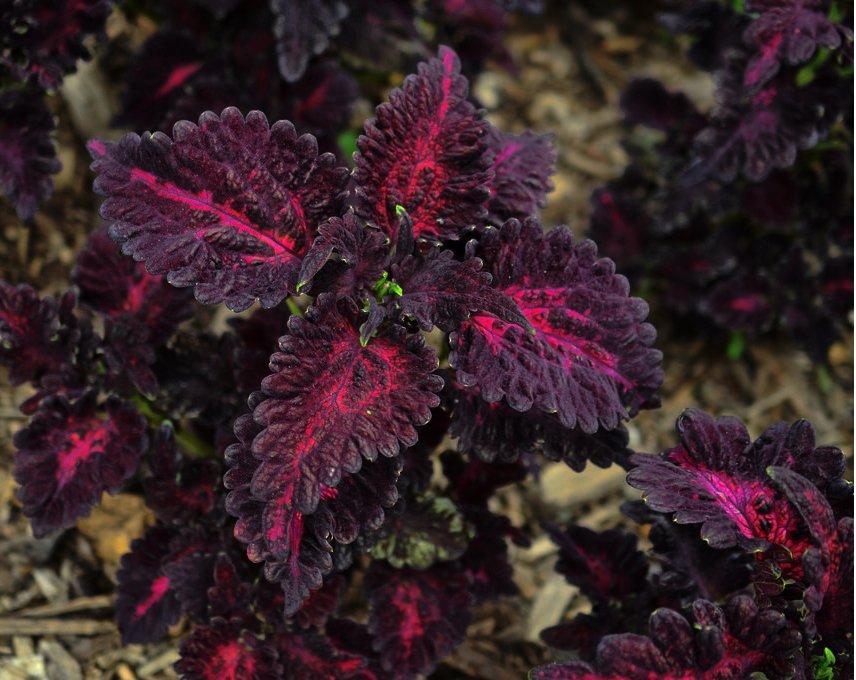 Goth Garden Dark Coleus Black Dragon Solenostemon scutellarioides - 25 Seeds