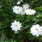 Rare South African Forest Gardenia Gardenia thunbergia  - 15 Seeds