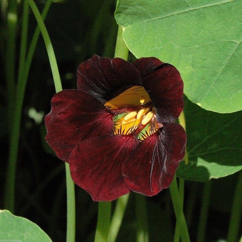 Goth Garden Nasturtium Burgundy Tropaeolum minus - 10 Seeds