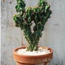 Monstrose Apple Cactus Cereus peruvianus monstrosus - 20 Seeds