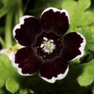 Goth Garden 'Penny Black' Nemophila insignis var. menziesii - 50 Seeds