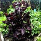 Akajiso Japanese Red Shiso Perilla Perilla frutescens - 100 Seeds