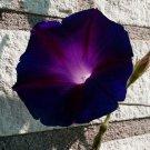 Goth Garden Campanella Vine Knowlians Black Morning Glory Ipomoea purpurea - 10 Seeds