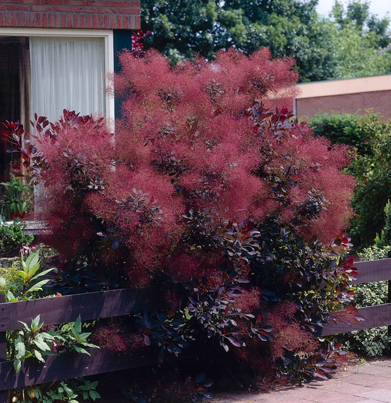 Hardy Purple Smoke Bush Cotinus Coggygria v Purpureus - 10 ...