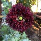 Goth Garden Black Swan Fringed Poppy Papaver Somniferum Laciniatum  - 50 Seeds