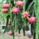 Pitahaya Dragon Fruit Mix Hylocereus sp - 40 Seeds