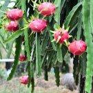 Pitaya Dragon Fruit Succulent Cactus Hylocereus mix - 40 Seeds