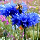 Blue Cornflower Bachelor Button Centaurea cyanus - 100 Seeds