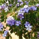 Rare Guaifenisen Lignum Vitae Guaiacum Officinale - 5 Seeds