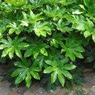 Exotic Japanese Aralia Fatsia japonica - 25 Seeds
