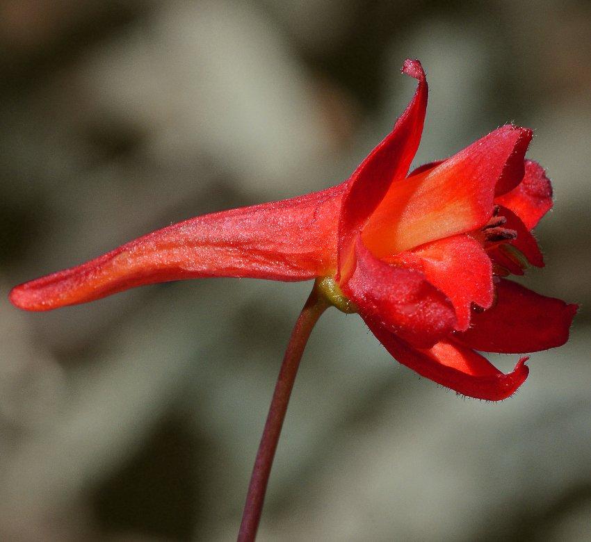 Wild Scarlet Red Larkspur Delphinium nudicaule - 20 Seeds