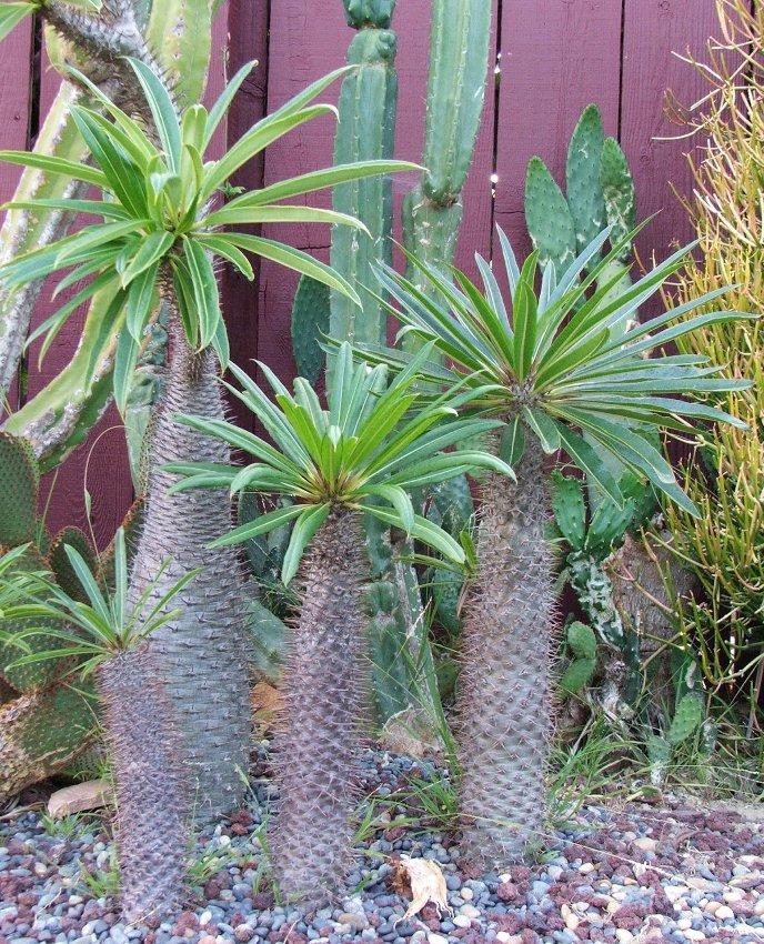 Cactus Madagascar Palm Pachypodium lamerei - 8 Seeds