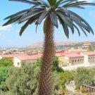Succulent Madagascar Palm Pachypodium lamerei - 8 Seeds