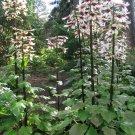 Dramatic Giant Himalayan Tree Lily Cardiocrinum giganteum - 8 Seeds