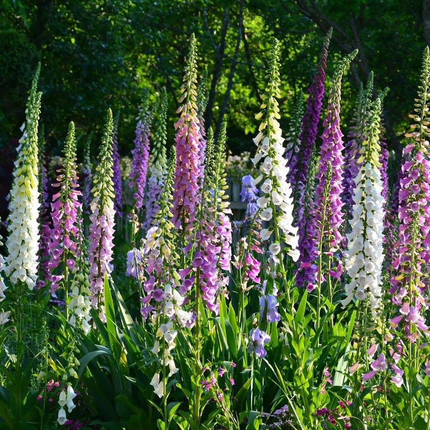 Hardy Fairy Thimbles Foxglove Mix Digitalis purpurea - 250 Seeds