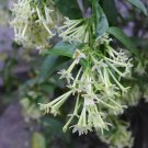 Fragrant Night-Blooming Jessamine Cestrum nocturnum - 10 Seeds