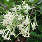 Fragrant Night-Blooming Jasmine Cestrum nocturnum - 15 Seeds