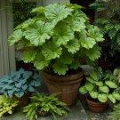 Indian Rhubarb Umbrella Plant Darmera peltata - 50 Seeds
